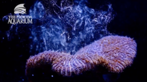 The Florida Aquarium reproduces coral for the first time in a lab.