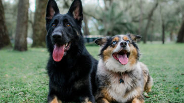 Photo of Hobbes, a German Shepherd, and Cooper, an Australian Shepherd